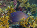 Damselfish Stock Photo