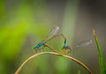 Damselfly breed two blue with green background blur shallow depth of field selective focus art artistic macro Stock Photography