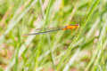 Damselfly close up of colorful with orange head and body thorax green abdomen orange tail Stock Photography