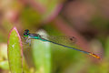 Damselfly close up of colorful perching on green leaf Stock Image