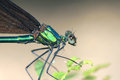 Damselfly the close up a scientific name mnais mneme Stock Photos