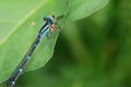 Damselfly on leaf that feeds a small insect Royalty Free Stock Image