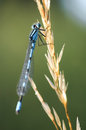 Damselfly macro of a on dry grass Stock Photography