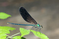 Damselfly the a male scientific name mnais mneme on leaf Royalty Free Stock Photo