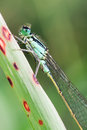 Damselfly photography macro of male Stock Images