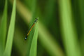 Damselfly a in a rice field in lao Royalty Free Stock Photos