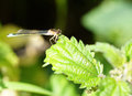 Damselfly a sitting on a green leaf Royalty Free Stock Image
