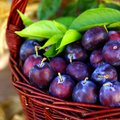 Damson plums Stock Images