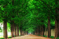 Damyang Metasequoia Road Royalty Free Stock Photo