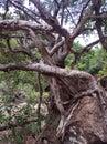 Dancing banyan tree funny roots Royalty Free Stock Photo