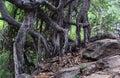 Dancing banyan tree roots Royalty Free Stock Photo
