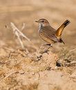 The dancing Bluethroat Stock Photos