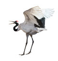 Dancing japanese crane isolated on white courtship dance background Royalty Free Stock Image