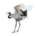 Dancing japanese crane isolated on white Royalty Free Stock Photo