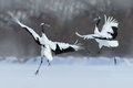 Dancing pair of Red-crowned crane with open wing in flight, with snow storm, Hokkaido, Japan Royalty Free Stock Photo