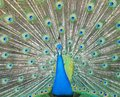 Dancing Peacock Stock Images