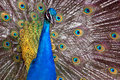 A dancing peacock male with wings spread and neck stretched Stock Images