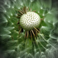 image photo : Dandelion