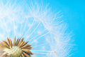 Dandelion abstract background. White blowball over blue sky Royalty Free Stock Photo