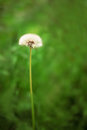 Dandelion across a fresh green background. Dandelion seeds. Flower in field. Vertical photography