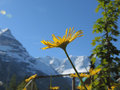 Dandelion in alps switzerland june Royalty Free Stock Photography