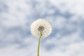 Dandelion background blue sky clouds Stock Photography