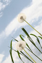 Dandelion background blue sky clouds Royalty Free Stock Photography