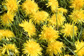 Dandelion background close up dandelions blooming at meadow Royalty Free Stock Photography