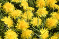 Dandelion background close up dandelions blooming at meadow Stock Photos