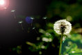 Dandelion on a background dark bokeh beautiful in front of beautiful Royalty Free Stock Image