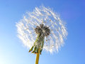 Dandelion on background sky photography with scene of the Royalty Free Stock Photo