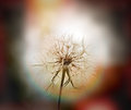 Dandelion beautiful dandelion seeds dandelion flower head illuminated by sunlight sun rays Stock Image