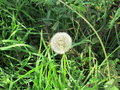 Dandelion the beautiful among green grass Royalty Free Stock Images