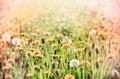 Dandelion on beautiful meadow flowering dandelions in spring Royalty Free Stock Photo