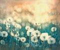 Dandelion on beautiful meadow flowering dandelions in spring Royalty Free Stock Images