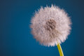 Dandelion blowball on blue background Royalty Free Stock Photos