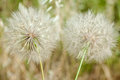 Dandelion blowball and flying seeds Royalty Free Stock Photography
