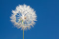 Dandelion blowball and flying seeds Royalty Free Stock Photo