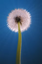 Dandelion blowball rays blue with light on background Royalty Free Stock Images