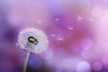 Dandelion blowing seeds in the wind against a violet background Royalty Free Stock Photos