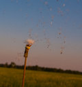 Dandelion blown by the wind seeds are flying through the air Stock Image