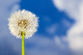 Dandelion with blue sky in the background Stock Photography