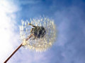 Dandelion on a blue sky background of with diffused clouds Stock Photo