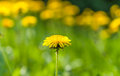 Dandelion on a blurred yellow green background Stock Photos