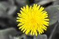 Dandelion, botanical name taraxacum officinale, is a perennial weed