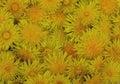 Dandelion bright flower plant yellow beauty green texture flora garden orange chrysanthemum dandelion pattern field floral abstrac