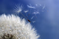 Dandelion clock dispersing seed with seeds blowing away in the wind across a blue sky Royalty Free Stock Photos