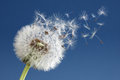 Dandelion clock dispersing seed with seeds blowing away in the wind across a clear blue sky Royalty Free Stock Photos