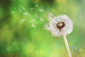 Dandelion clock dispersing seed Royalty Free Stock Photo