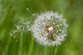 Dandelion clock dispersing seeds Royalty Free Stock Photo